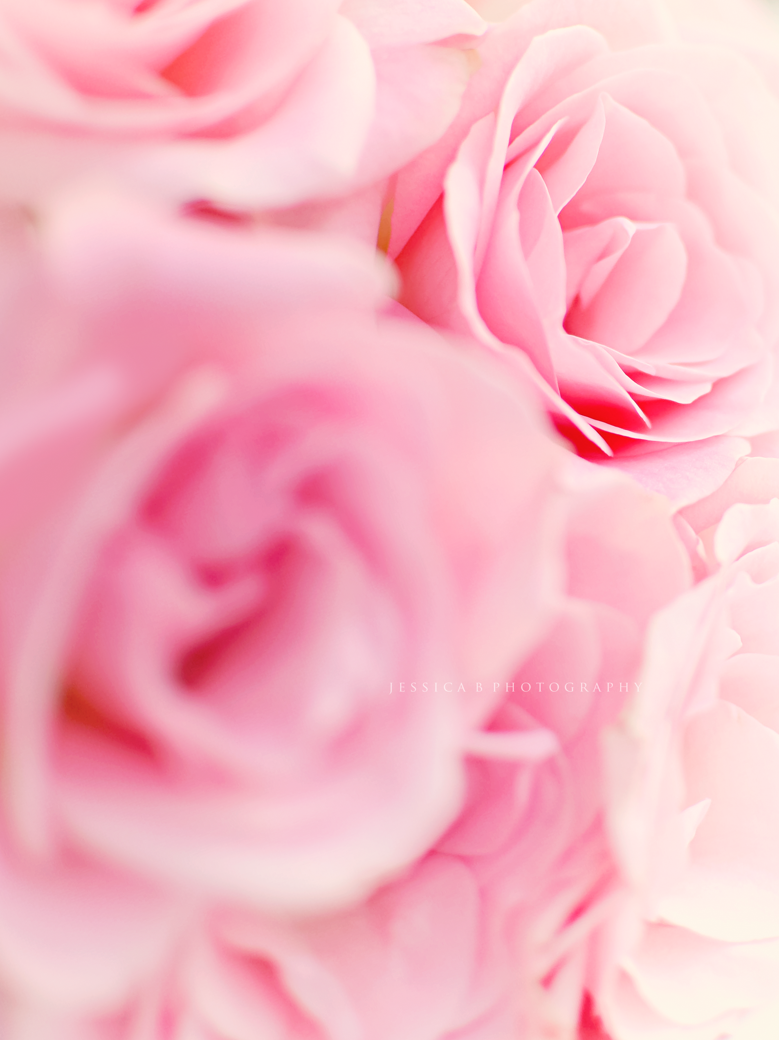 { Pink Roses }